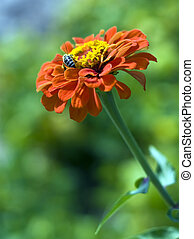 Bee - Flower, Zinnia Elegans and bees in the garden