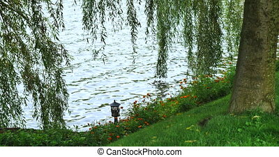 shore of the lake with a weeping willow.