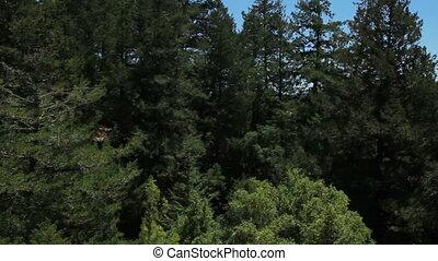 Panning through tree tops shot two - California Panning...