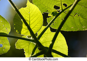 watch out for these - Backlighting on leaves of the fearsome...