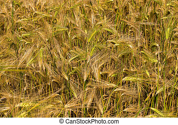 Field with harvest rye.