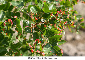 Pistacia atlantica or Persian turpentine tree. Beautiful and...