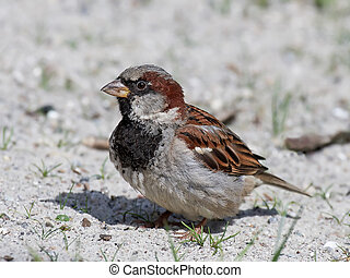 House sparrow (Passer domesticus) - House sparrow stitting...