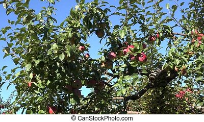 Successful year of orchard apple fruit tree harvest. Tilt...