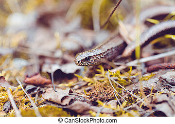 Slow Worm or Blind Worm, Anguis fragilis. Slow Worm lizards...