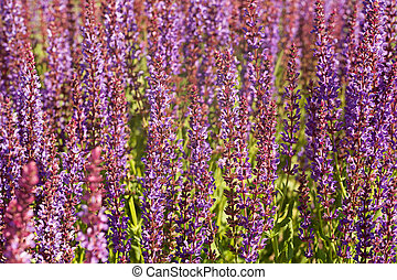 Lamiaceae family field herb - Lamiaceae family violet field...