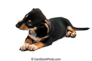 Dachshund puppy on a white background