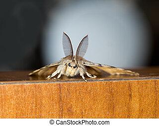 Nature macro. Gypsy moth. - Lymantria dispar dispar aka...