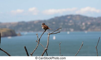 Little Bird against San Francisco Bay - Sparrow perched on a...