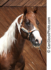 Portrait of beautiful paint horse stallion with western...