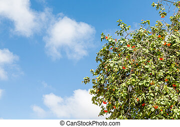 Tropical poinciana Tree with Red Flowers