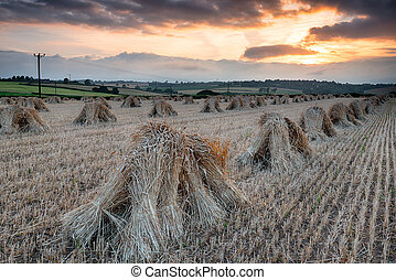 Barley Harvest in Devon