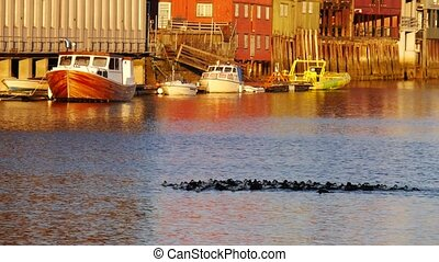 Flock of wild ducks swimming in sea bay in Sodermalm district of Stockholm, Sweden