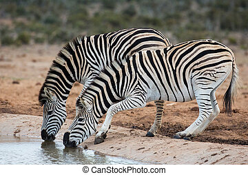Burchells or Plains Zebras Drinking Water - Two nervous...