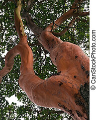 Pacific Madrona Tree (Arbutus) - The Pacific Madrona known...