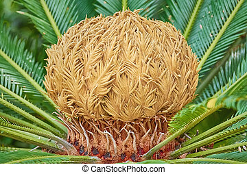 Sago Palm Cone - Female Reproductive Structure of Japanese...