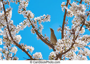 Spotted Flycatcher (Muscicapa Striata) among the Sakura...