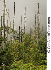 Dead Fraser Firs, American Mountain-Ash, Clingmans Dome,...