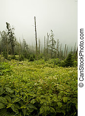 Dead Fraser Firs, Wildflowers, Clingmans Dome, Great Smoky...
