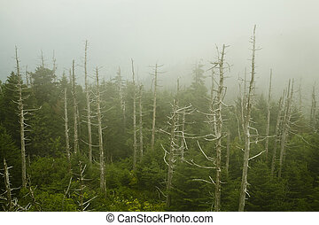 Dead Fraser Firs, Clingmans Dome, Great Smoky Mtns - Dead...