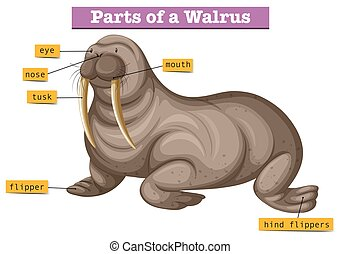 Diagram showing parts of walrus illustration