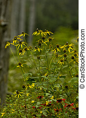 Wildflowers, Clingmans Dome area, Great Smoky Mtns -...