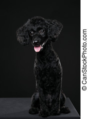 balck poodle portrait in black background
