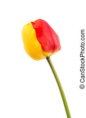 yellow-red tulip on a white background