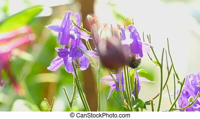 Bumblebee on aquilegia flower - Bumblebee on a blue and...