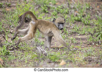 Baboon forage for food in early morning sunshine