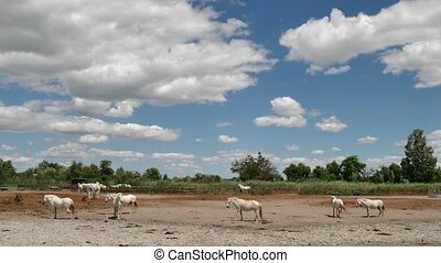 White Horses In Ranch - Herd of white horses in a ranch in...