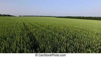 Field of green wheat Overhead shot - Field of green wheat,...