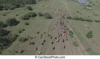 pasture on a mountain plateau - herd of cows running to...