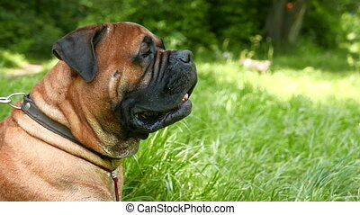 dog breed Bullmastiff outdoors