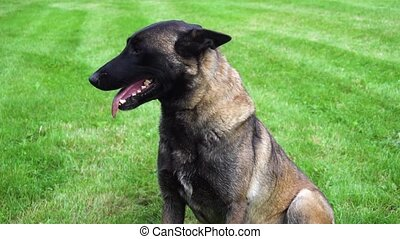 belgian sheppard dog outdoors - belgian sheppard dog malinua...