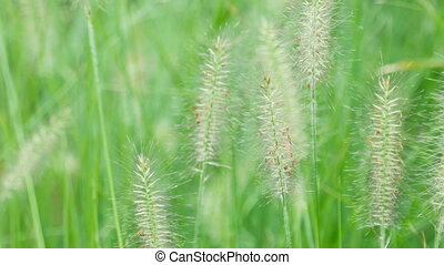 Spikelets of grass swaying in the wind