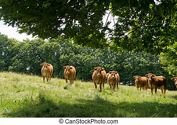 Limousin cows in fields - Herd Limousin cows in the fields