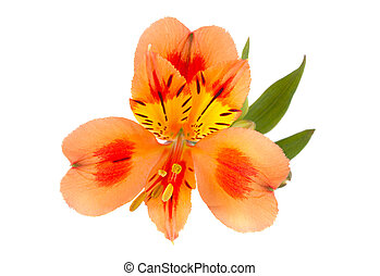 Orange Alstroemeria flower head