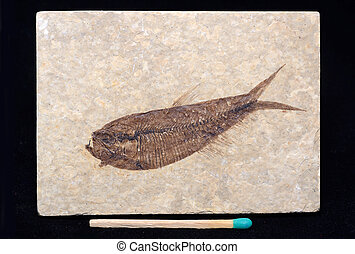 fossilised fish - a well preserved fossil of a diplomystus...