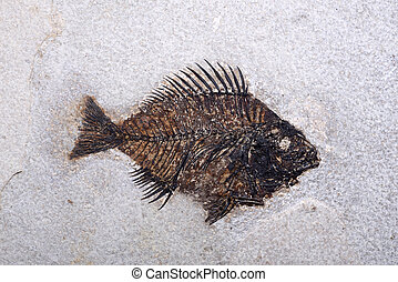 fossilised fish - a well preserved fossilised fish
