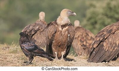 Griffon vulture, Gyps fulvus, Group of birds on floor,...