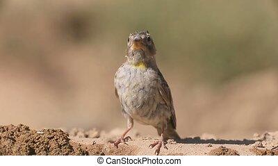 Rock sparrow, Petronia petronia, Single bird on ground,...