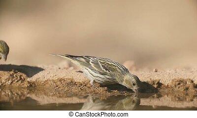 Serin, Serinus serinus, Single female by water, Spain, July...