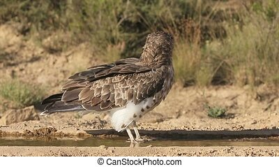 Short-toed eagle, Circaetus gallicus, Single bird by water,...