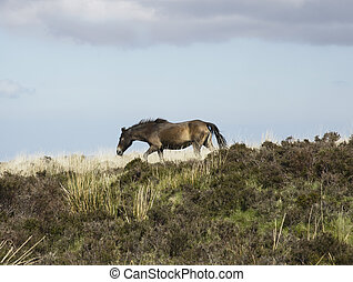 Exmoor pony - A beautiful Exmoor pony on moorland in Devon...