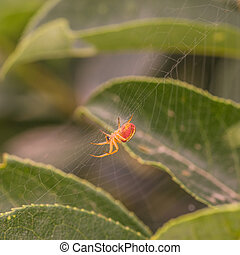 Side View of a Spider in Web - Macro of a red and orange...