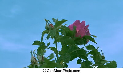 Roses. - Bush of pink roses on a background of blue sky.