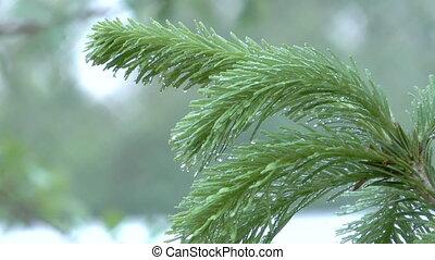 Fir branch. - HD 1080 closeup clip of fir branch in rain...