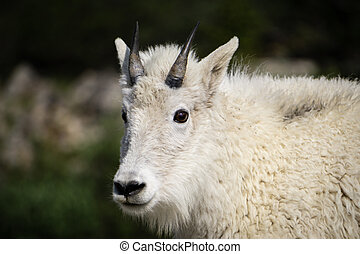 Mountain Goat - Mount Evans, Colorado