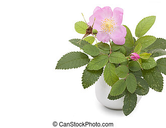 Branch of dog rose with leaves, flower and one bud in a ceramic flower vase. Isolated on white background, copyspace. Close-up.